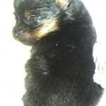 Nugget Pom Puppy 19 days old