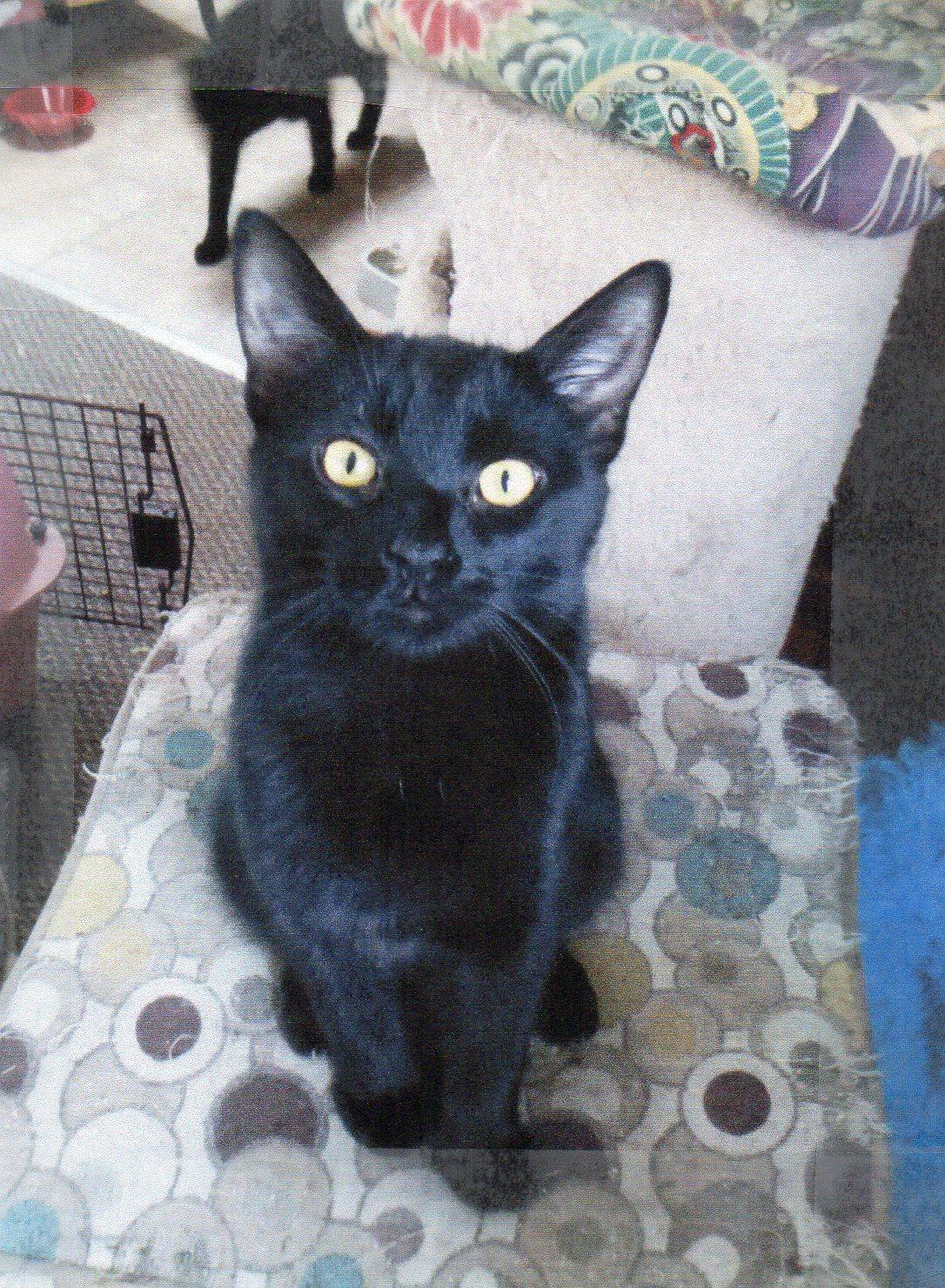 orijen fit and trim cat food