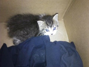 Tailless Kitten