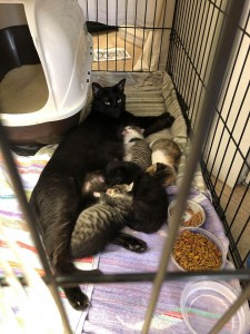 mama 5:27:20 with 4 1 week old kittens