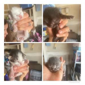 1 week old kittens w:beckie borse 7:5:20